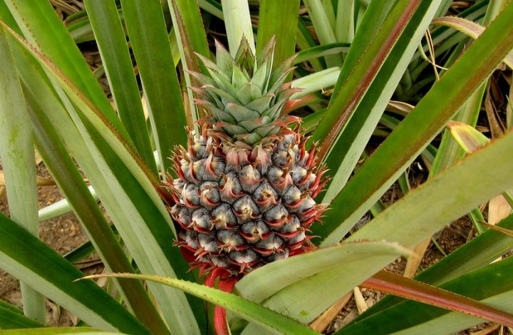Homegrown Pineapple Made Easy