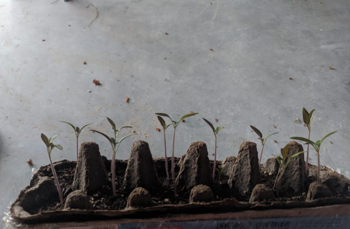 Egg Cartons as Seedling Starters