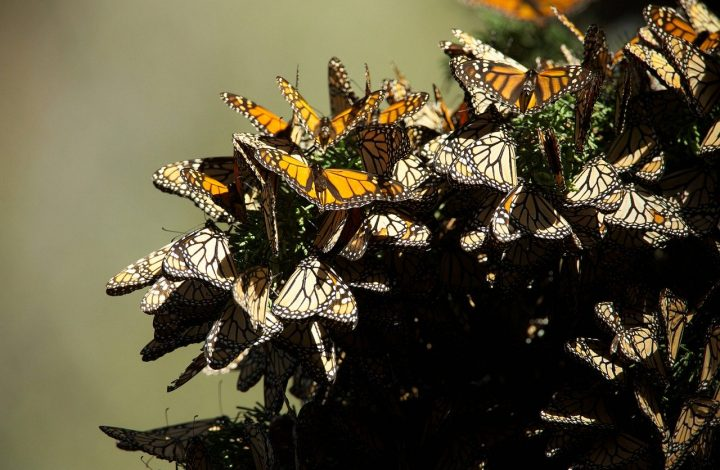 Breathtaking View from Inside a Monarch Butterfly Swarm