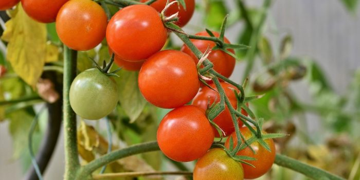 How To Grow Lots of Tomatoes, Not Leaves